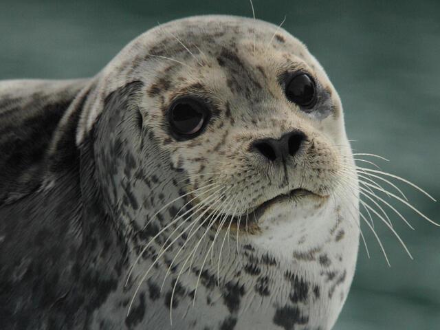 41yzw17euy_Harbor_Seal_on_Ice_close_0357_6_11_07.jpg