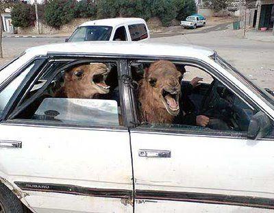 Camels_in_car.jpg
