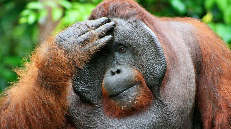 orangutan-tanjung-putin-denkend.jpg