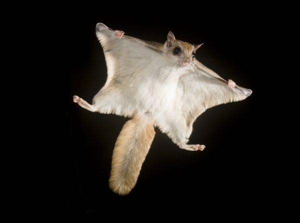 southern-flying-squirrel-glaucomys-volans-6124472.jpg