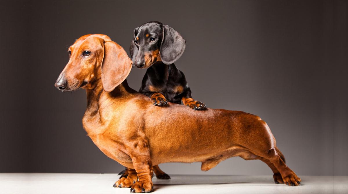 standard-vs-miniature-dachshund-cover.jpg