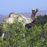 The Camels of Cal madow